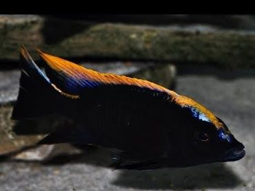 Otopharynx Black Orange Malawi Pyszczaki Olsztyn sklep zoo-PIRANIA