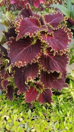Продам неприхотливое  комнатно - садовое растение Колеус (разные сорта
