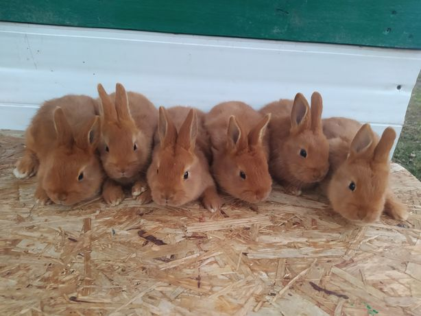 Кролі, кролики. Нзч, Нзк. Новозеландська Червона. 170 грн місяць.