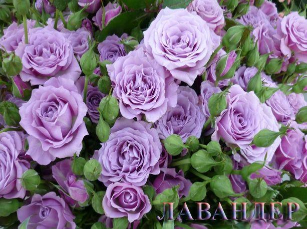 Саженцы роз, чайногибридные, плетистые, английские, парковые, спрей