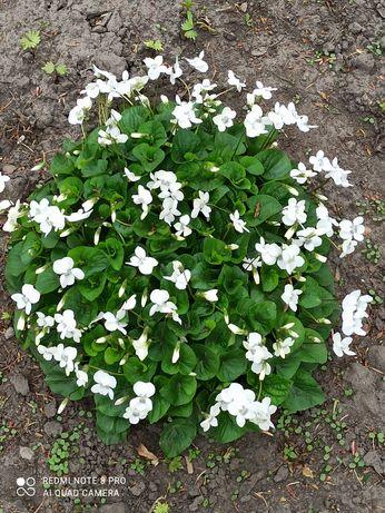 Садова фіалка біла