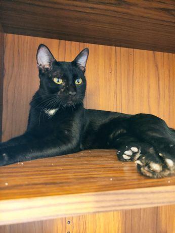 Luís gato jovem para adoção
