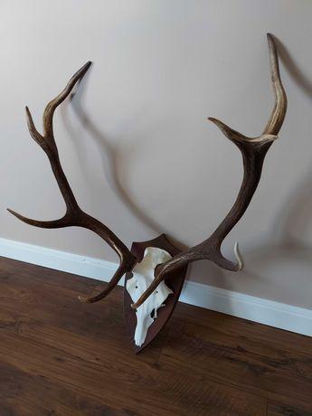 Poroże jelenia wieniec