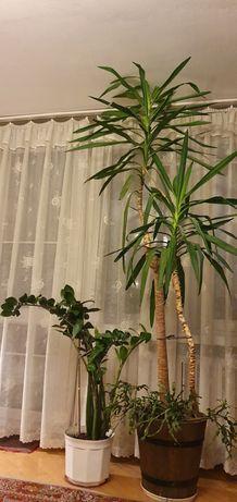 Yuka roślina doniczkowa