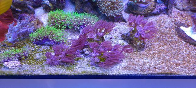 Morskie Koralowiec Anthelia