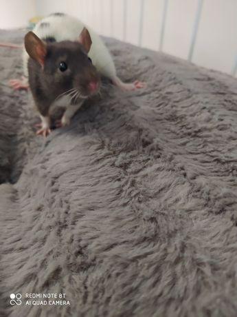 Szczurki dwa samce