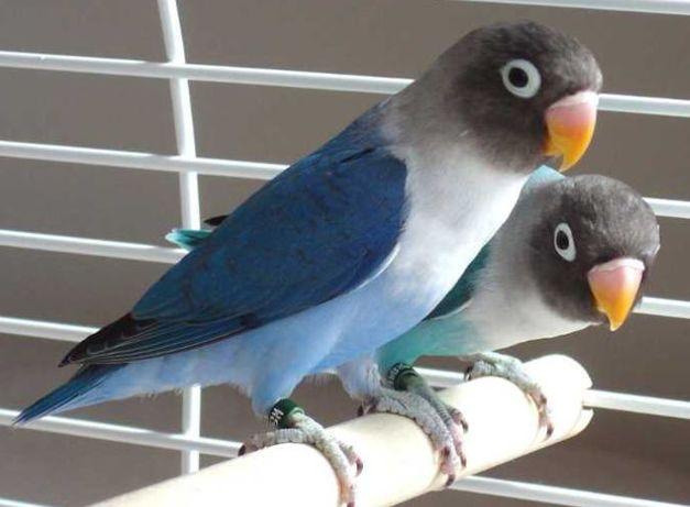 Синие Неразлучники пара или по одному