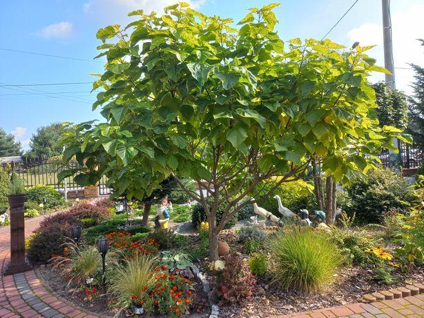Drzewo Katalpa Catalpa Surmia