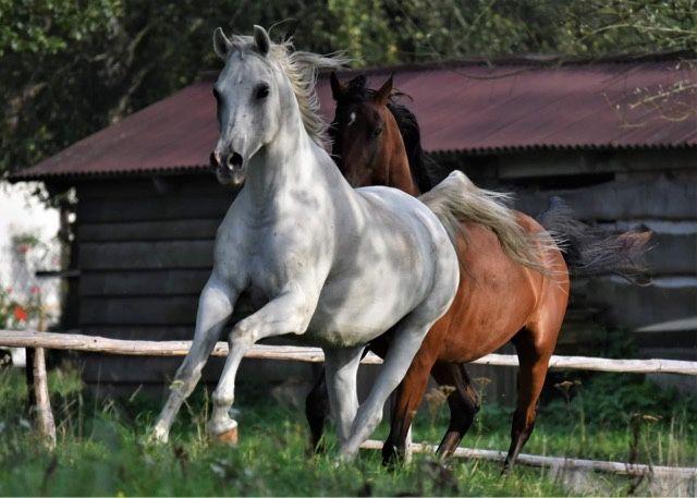 Wałach Koń Arab
