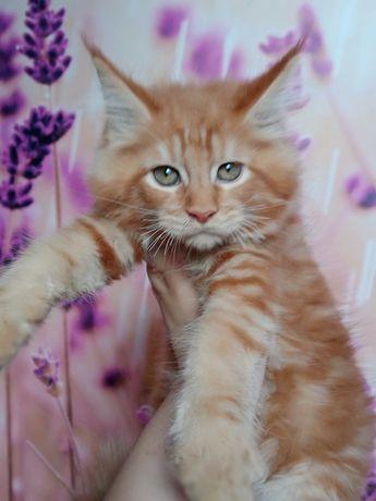 Maine Coon kocurek ,linia dużych kotów