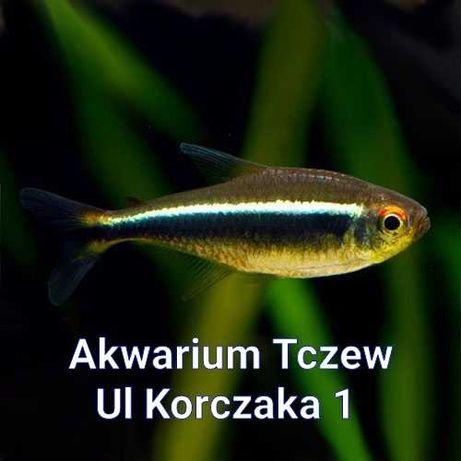 Neon czarny 10sztuk ul Korczaka 1 Tczew