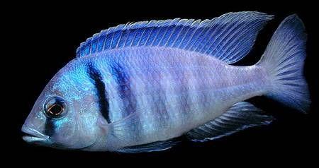 Placidochromis Electra pyszczaki Malawi Gdańsk