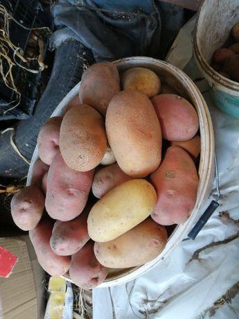 Велика картопля домашня.