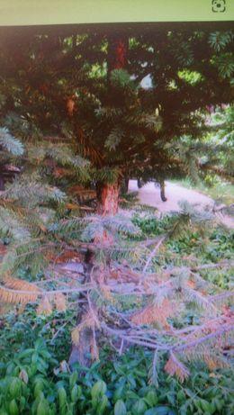 Gałęzie świerkowe