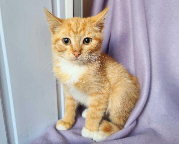 Маленькое солнышко – рыжий котенок Оранж (2 мес.). Кот / кіт / кошеня