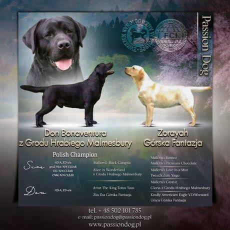 Labrador czarne szczenięta ZKwP/FCI