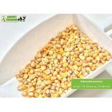 Kukurydza paszowa ziarno. Produkt bez GMO