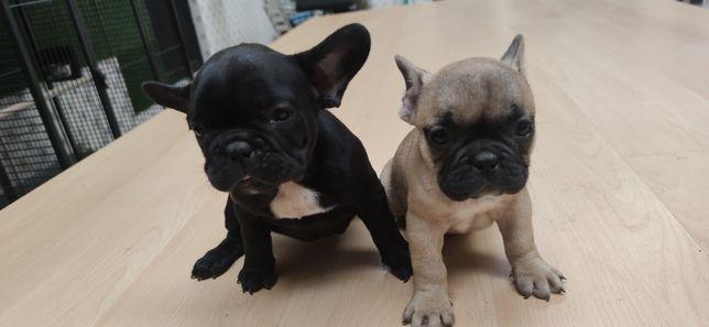 Bulldog francês criado em ambiente familiar disponível para entrega im