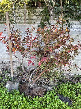 Саженцы 5летние голубики (черники садовой) BluеCrop