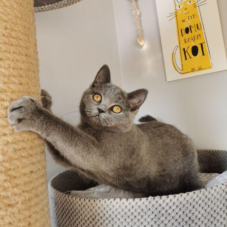 Kot Brytyjski kotki gotowe do zmiany domu