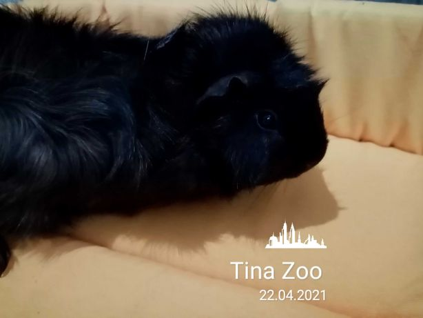 Świnka morska rozetka samiec - Tina Zoo Witkiewicza