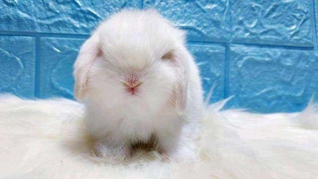 Mini coelhos anões Orelhudos Bilier muito meigos e inteligentes