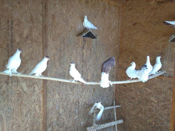 Sprzedam gołębie - różne rasy