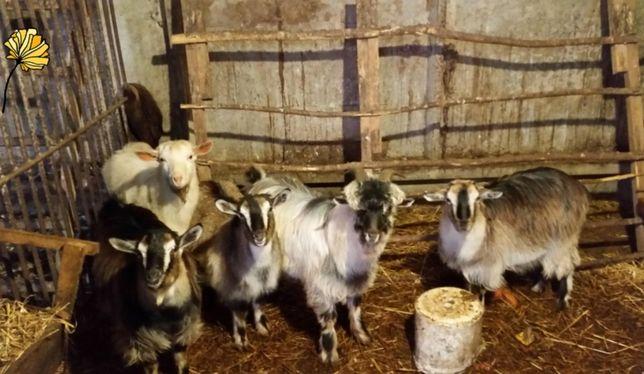 Продам коз, на молоко