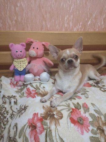 Пропала собака породи чихуахуа