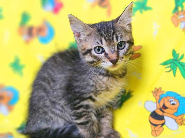 нежная кошечка Май, котёнок, 3 месяца