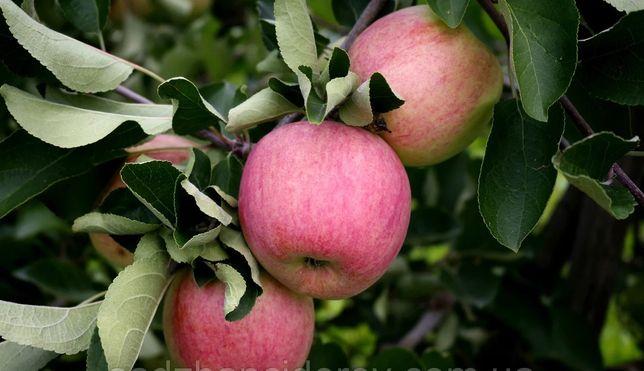Продам саженцы яблони, сорт Пирос