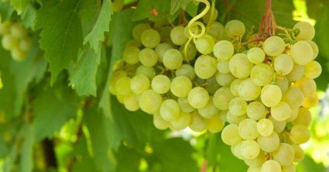Winogron!!! Najlepsze Odmiany