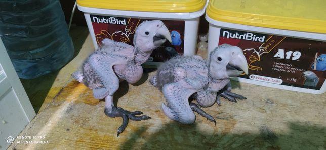 Araras Chloropteras bebés para acabar de criar a mão anilha fechada e