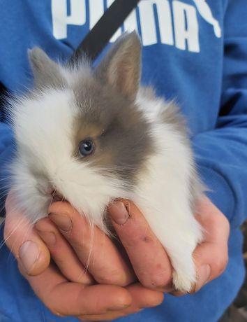 Śliczny króliczek karzełek teddy