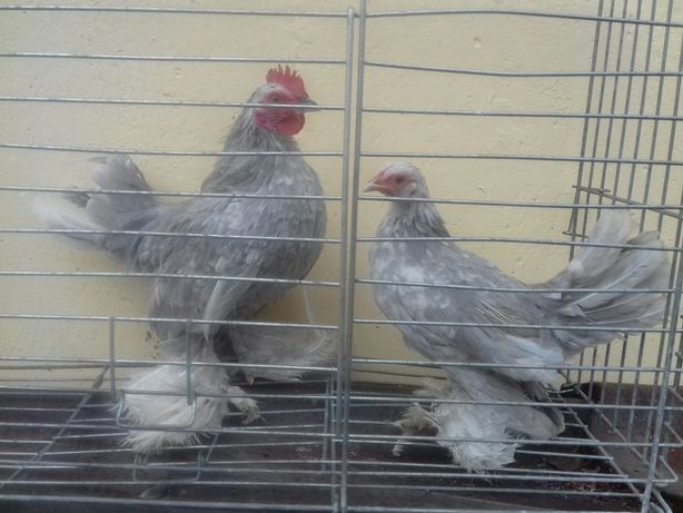 Karzełki łapciate para kura kogut