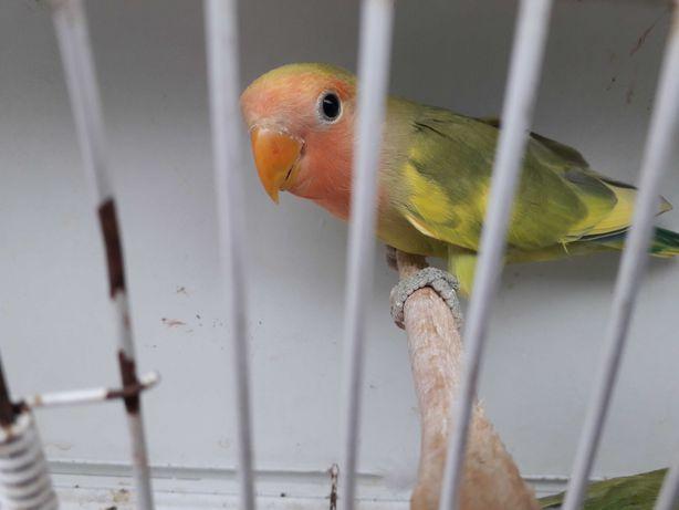 Vendo Aves agapornis