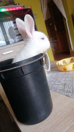 Sprzedam królika miniaturkę