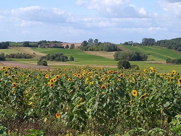 Słonecznik ozdobny kwiatowy cięty sesje zdjęciowe