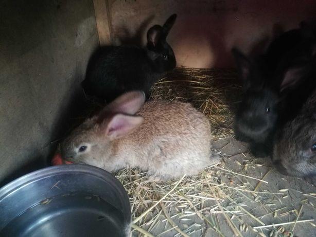 Zdrowe króliki królik