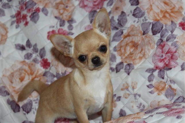 Sliczna dziewczynka chihuahua