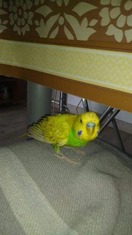 Dzień dobry. papuga wyleciała przez okno.