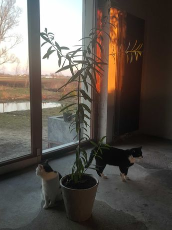 Oleander amarantowy  pełny kwiat