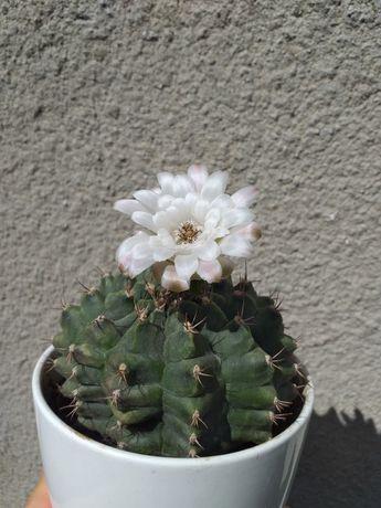 Gymnocalycium, roślina sukulent