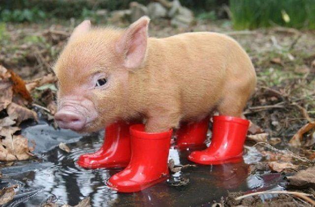 Срочно Продам поросят и подрощенных свиней
