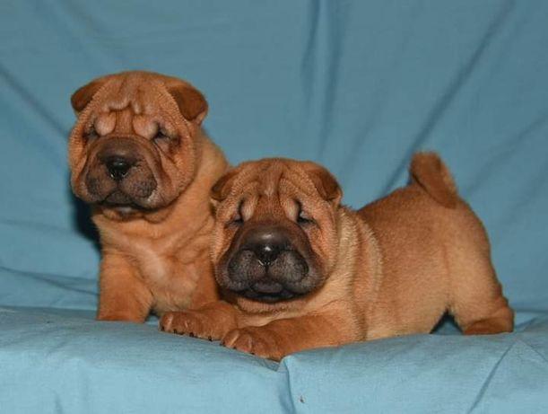 Шарпея очаровательные щенки