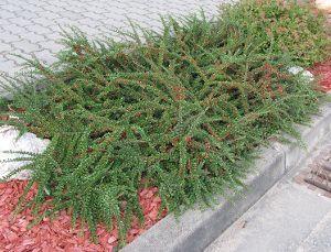 IRGA POZIOMA Cotoneaster - sadzonki w doniczkach
