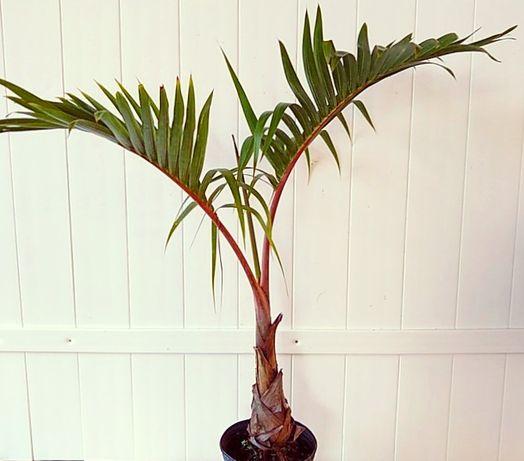 Extraordinária palmeira garrafa, Hyophorbe verschaffellti com 1,5 m
