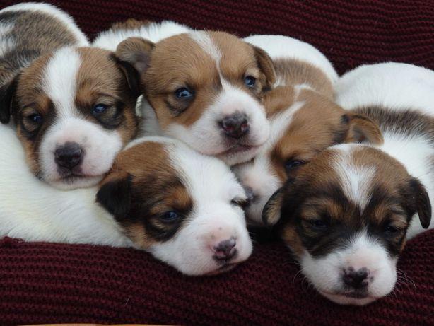 Jack Russell Terrier szczenięta pieski od SMARTIE JACKS rezerwacja!