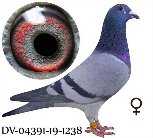 Młode 2021 para 35 Inbred Ringlose Braverheart gołąb gołębie pocztowe