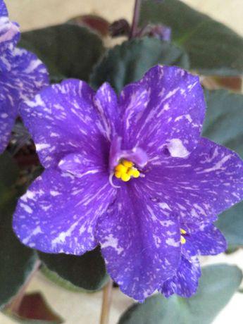 Комнатные цветы. Фиалки сенполии сортовые